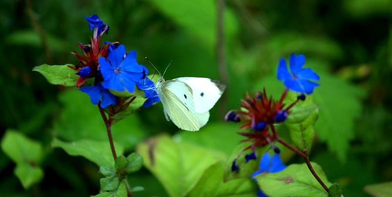 Cabbage moth on Plumbago; Quakertown, PA