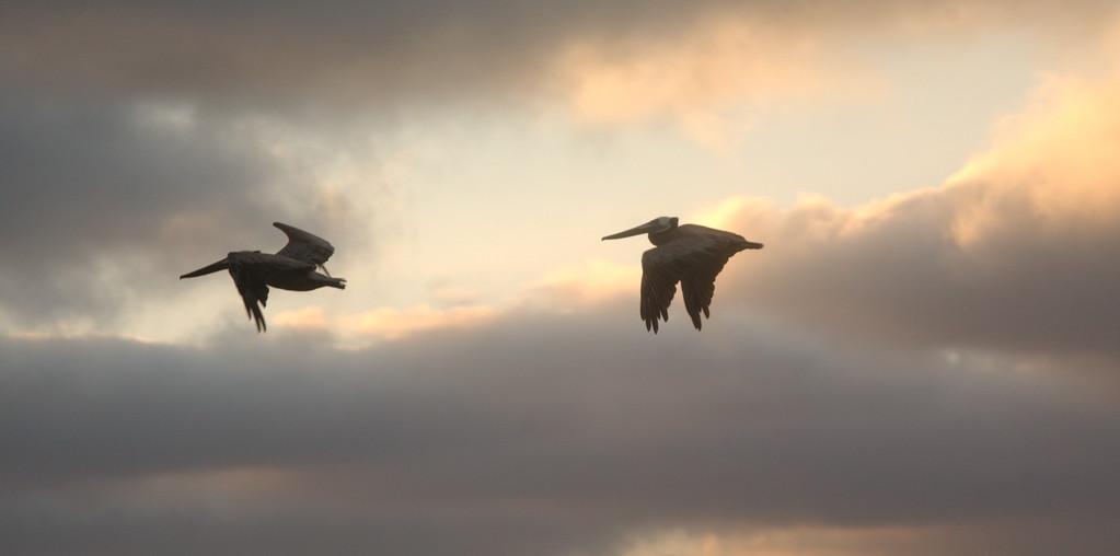 Pelicans in sunset; La Jolla, CA