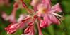 Native azalea at Teardrop Park, Manhattan