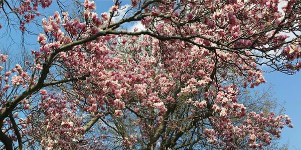 Japanese Magnolia (Magnolia soulangeana) Panorama in Spring