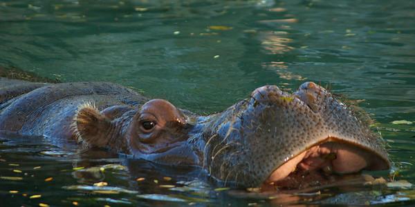 Hippo - Philadelphia Zoo
