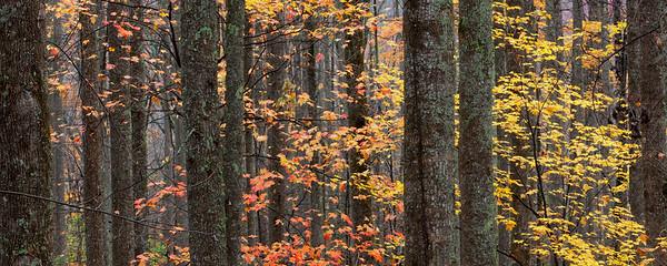 Appalachian Forest, Autumn I
