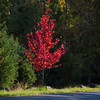 Autumn color and early morning light create vibrant scenes in Acadia National Park in October, on the scenic loop road which encircles the park.