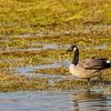 Canada geese, Assateague, in Chincoteague National Wildlife Refuge, on Assateague Island in Virginia.
