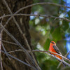 Vermilion Flycatcher in Rio Grande City campgrounds in Big Bend National Park.