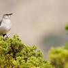 Northern Mockingbird, Mimus polyglottos, in Big Bend National Park