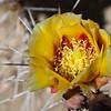 Schott Club Cholla cactus flower, Opuntia schottii, in Big Bend National Park in Texas.