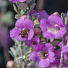 Bee on Purple Sage at Dugout Wells in Big Bend National Park.