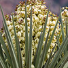 Torrey Yucca, Yucca treculeana<br /> Or Yucca torreyi<br /> (also known as Spanish Dagger), in Big Bend National Park