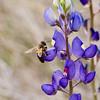 Bee on Big Bend Blue Bonnet, Lupinus havardii<br /> Fabaceae family<br /> Big Bend National Park