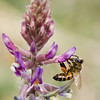 Bee on Purple Locoweed wildflower, Astragalus missouriensis, Legume family - Fabaceae, in Chisos Mountains area, in Big Bend National Park