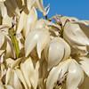 Torrey Yucca, Yucca treculeana, in Big Bend Nationa Park in Texas.