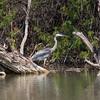 Great Blue Heron, Ardea herodias, at pond at Rio Grande Village, near Big Bend National Park