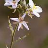 Greggia camporum, also known as Velvety Nerisyrenia, wildflower in Big Bend National Park, belongs to mustard family - Brassicaceae