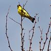 Lesser Goldfinch, Carduelis psaltria, beautiful yellow bird at Chisos Basin, in Big Bend National Park