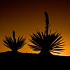 Silhouette of Giant dagger yucca, Yucca carnerosana, (also called Yucca faxoniana, at sunset in Dagger Flats, Big Bend National Park, in Texas.
