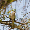 Northern Mockingbird, Mimus polyglottos, in tree at Rio Grande Village, near Big Bend National Park