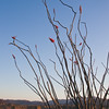 Flowering Ocotillo, Fouquiera splendens, in Big Bend National Park in Texas.