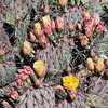 Purple Prickly Pear Cactus, Opuntia violacea, in early morning light at Big Bend National Park in Texas.