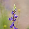 Big Bend Bluebonnet, Lupina havardii<br /> Fabaceae family<br /> Big Bend National Park in Texas.