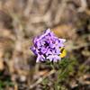Dessert Verbena, Verbena wrightii, in Big Bend National Park in Texas.