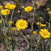 Desert Marigold wildflower, Bailyea multiradiata, in Big Bend National Park in Texas. The Desert Marigold is in the Sunflower family.