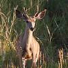 Mule deer, Odocoileus hemionus, in early morning light in Devil's Tower National Monument in Wyoming.