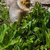 Columbian ground squirrel, Urocitellus columbianus, at Logan's Pass in Glacier National Park in Montana.
