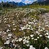 White Yarrow wildflowers, Achillea millefolium, blooming in August in Glacier National Park in Montana.