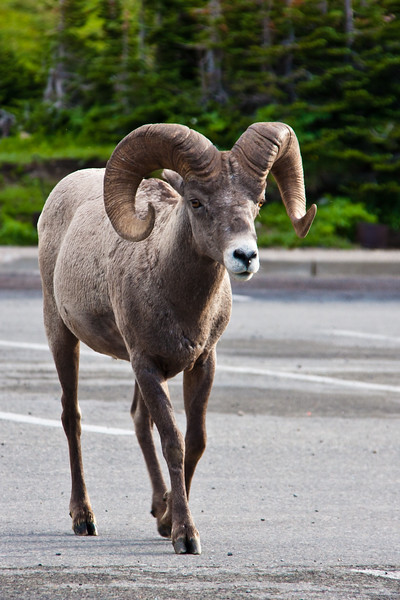 Bighorn Sheep, Ovis canadensis, at the Visitor's Center at Logan Pass in Glacier National Park in Montana.