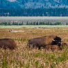 American Bison in the valley below the Grand Tetons Mountain Range in Grand Tetons National Park in Wyoming.