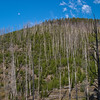 Re-growth of Lodge Pole Pines after disastrous fire burned thousands of acres in Yellowstone National Park, Wyoming.