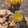 Rainbow cactus in bloom, Echinocereus dasyacanthus, in Big Bend Ranch State Park in Texas.