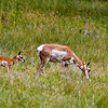 Pronghorn, Antilocapra americana, with fawn grazing in Custer State Park and wildlife regufe n South Dakota.