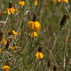 """Mexican Hat, Ratibida columnaris. """"Yellow Variety"""" also known as Yellow Coneflower and Prairie Coneflower, in Custer State Park in South Dakota."""