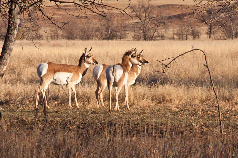 Pronghorn, Antilocapra americana, in Custer State Park in South Dakota in autumn. Pronghorns are North America's fastest animal. They can run at speeds close to 60 miles per hour, and have more endurance than Cheetahs, so in a long race, they would outrun the Cheetah.