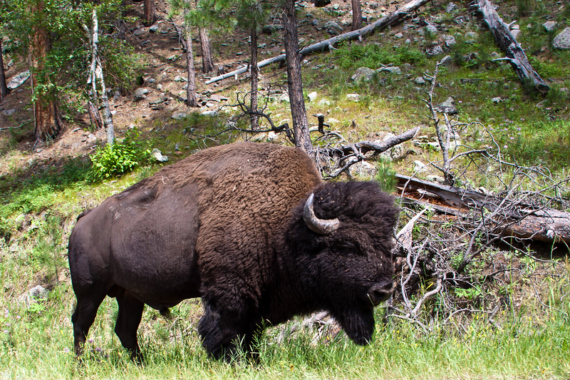 American Bison (or Buffalo) in Custer State Park and Wildlife Refuge in the Black Hills of South Dakota. The American bison (Bison bison) is a North American species of bison, also commonly known as the American buffalo. This refuge supports a herd of 1500 Bison.