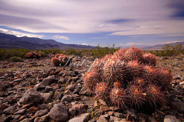 An Echinocactus is about to bloom in Death Valley National Park
