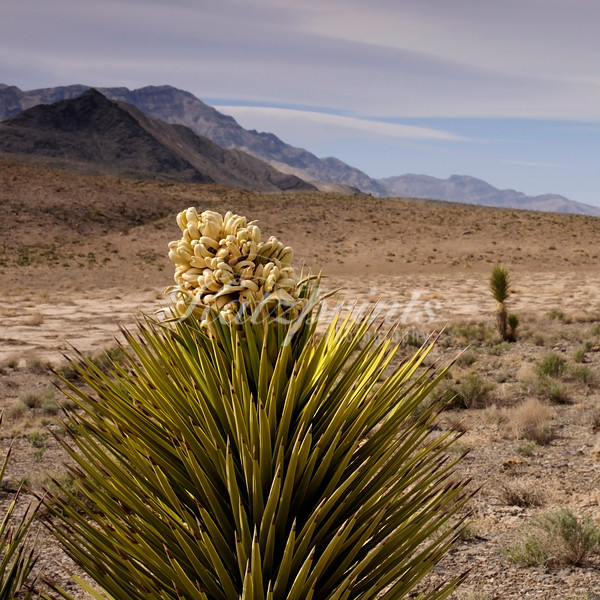 A small Joshua tree starts to bloom in Death Valley National Park.