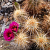 An Englemann Hedgehog cactus blooms in Death Valley National Park.