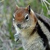 A golden-mantled ground squirrel nibbles on green leaves in Yellowstone National Park.