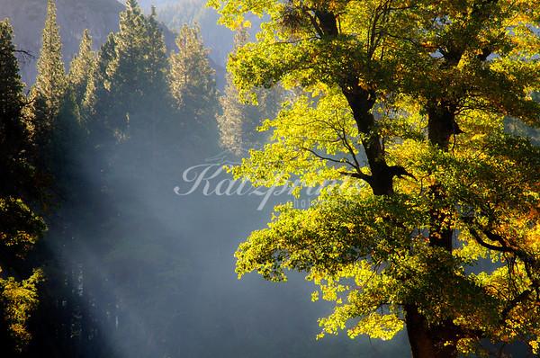 Oak rays