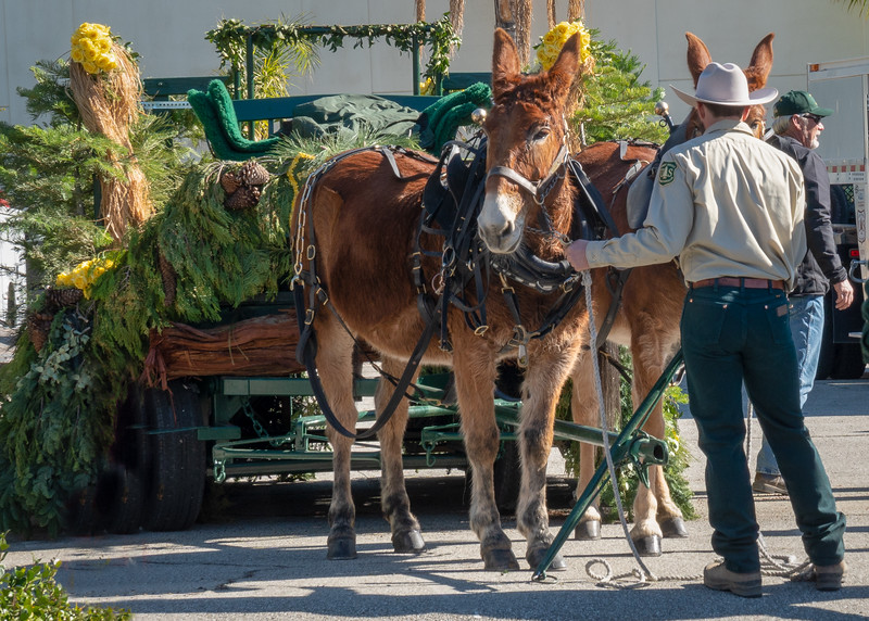 Unhitching the mules after the Rose Parade