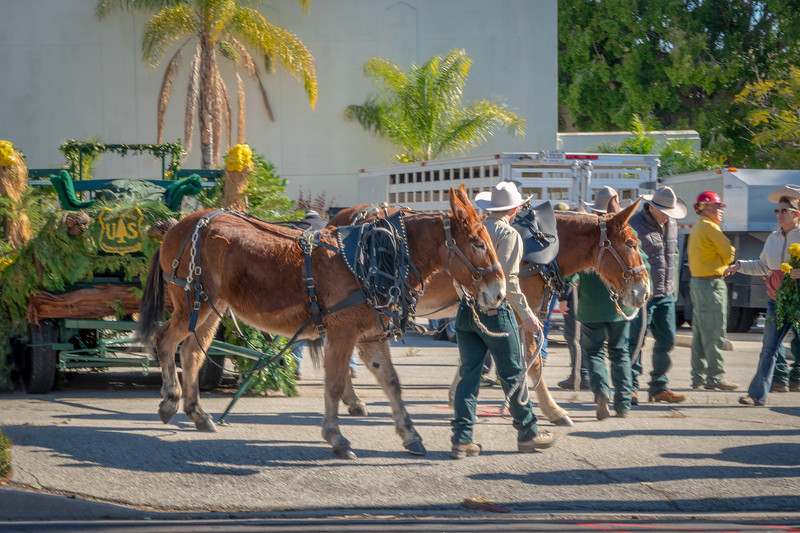The US Forest Service unhitches its mules before dismantling the evergreen wagon