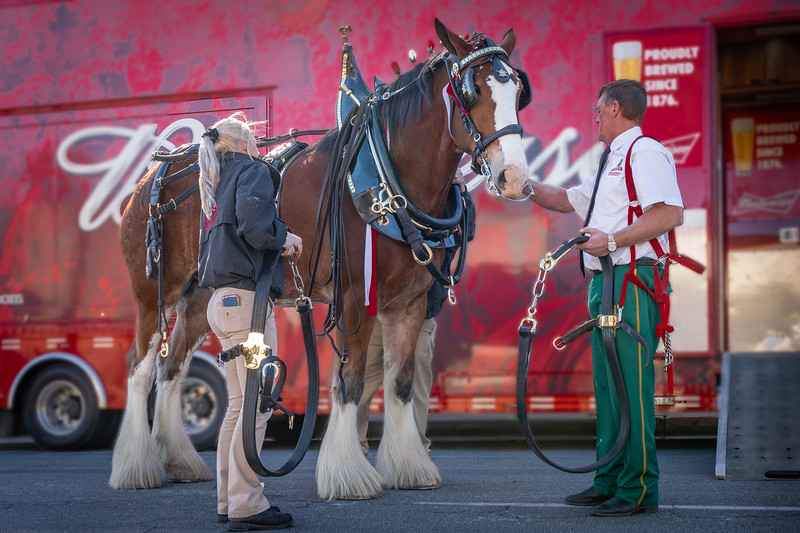 One of the Budweiser Clydesdales after the Rose Parade