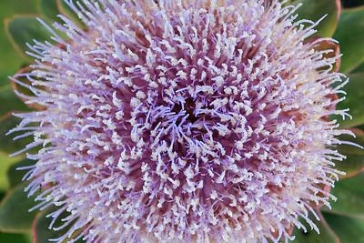 Artichoke Blossom