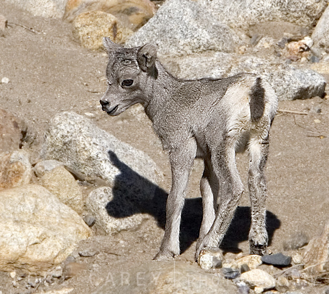 An endangered desert bighorn suckling calf in Anza Borrego Desert State Park. This was the first reported sighting of this calf.