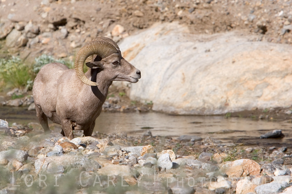 Endangered Peninsular (desert) bighorn sheep (ovis canadensis cremnobates) in Anza-Borrego Desert State Park
