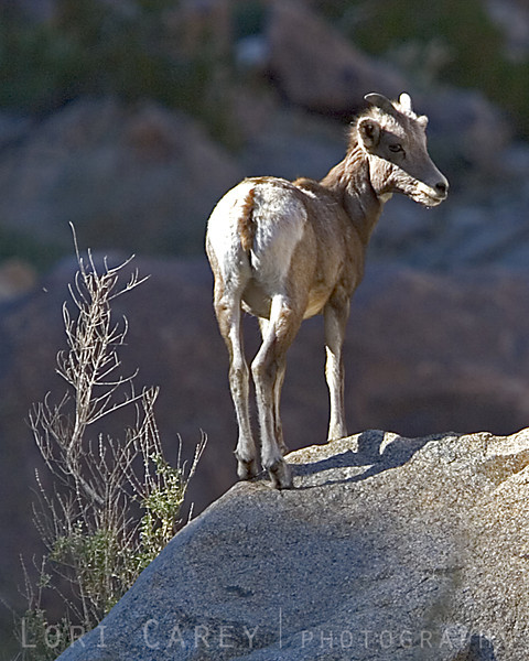 A desert bighorn button buck in Anza Borrego Desert State Park.
