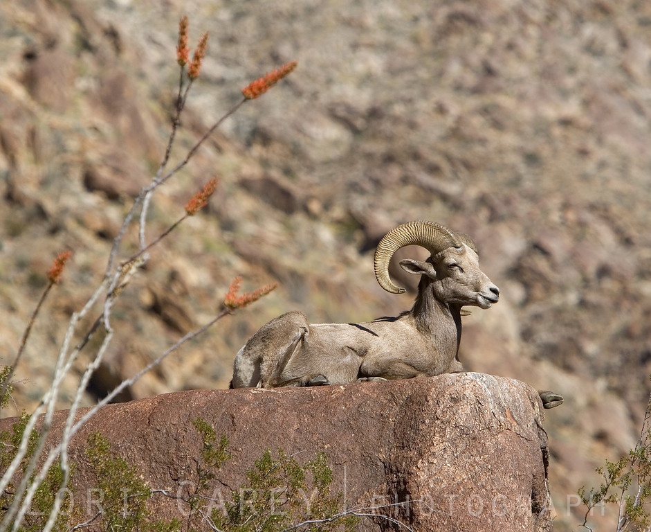 Desert bighorn enjoying the sun, ocotillo in foreground.